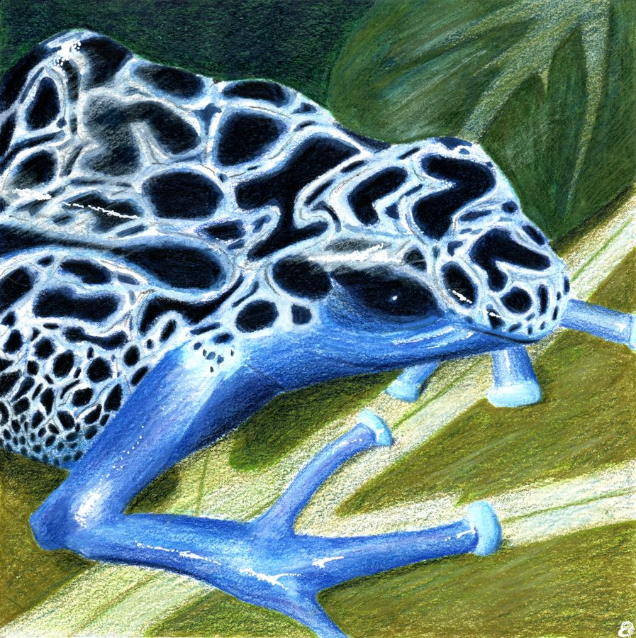 Blue poison dart frog by Gumnut Logic