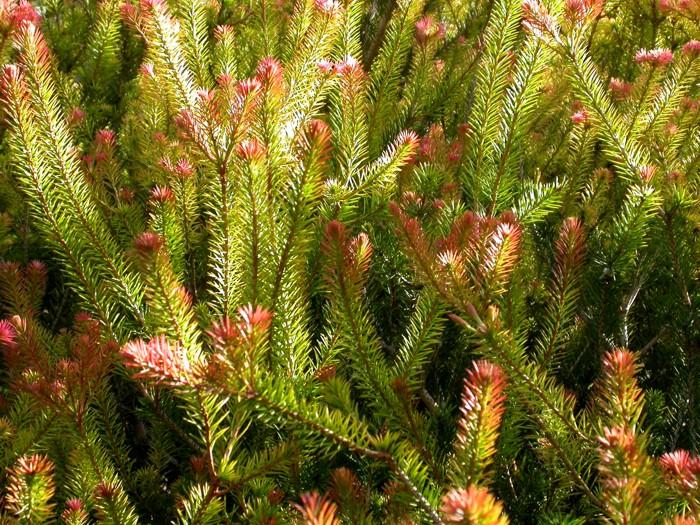 Calothamnus – Net bush