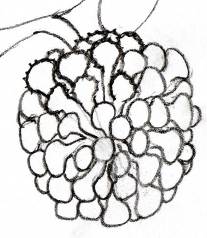 Acacia caricature