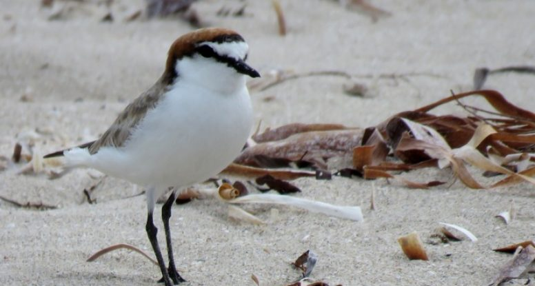 Red-capped Plover (female)
