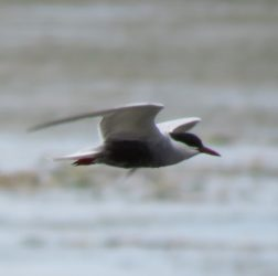 Whiskered tern?