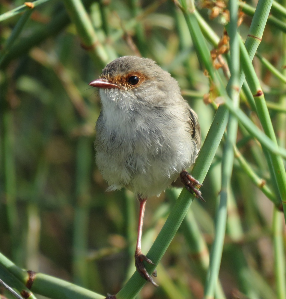 female superb fairy wren - milang
